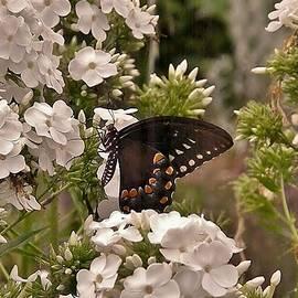 Kim Bemis - Black Swallowtail in White Flowers