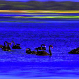 Miroslava Jurcik - Black Swan At Lake Wollumboula