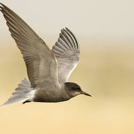 Veselin Gramatikov - Black Tern in flight
