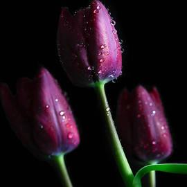 Tracy Hall - Black Tulips