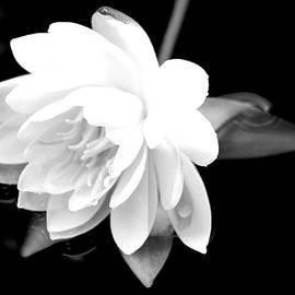 Debra     Vatalaro - Black/White Lotus