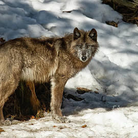 Wolves Only - Black Wolf Pictures - BW 1