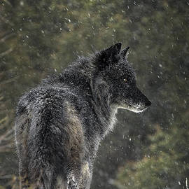 Wildlife Fine Art - Black Wolf