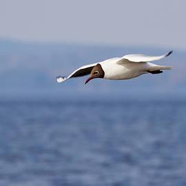 Jouko Lehto - Blackheaded gull
