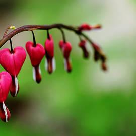 Debbie Oppermann - Bleeding Hearts Flower Of Romance