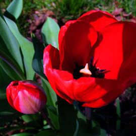 Tina M Wenger - Blood Red Tulips