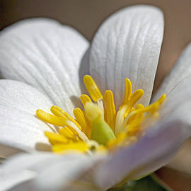 Mother Nature - Bloodroot Wildflower - Sanguinaria canadensis