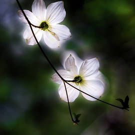 Blooming Dogwoods in Yosemite 2 - Larry Marshall