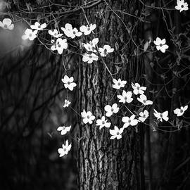 Blooming Dogwoods in Yosemite Black and White - Larry Marshall