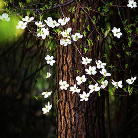 Blooming Dogwoods in Yosemite - Larry Marshall