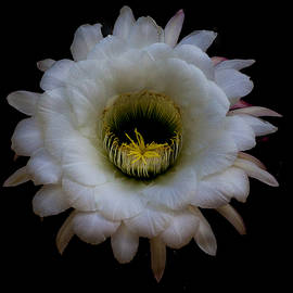 Ruth Jolly - Blooming Echinopsis candicans