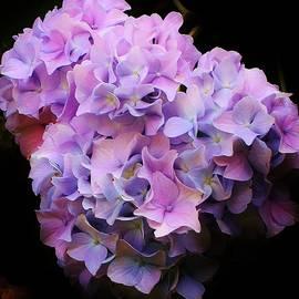 Bruce Bley - Blooming Hydrangea