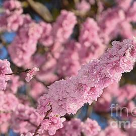 Kaye Menner - Blooming Spring Blossoms by Kaye Menner