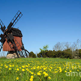 Kennerth and Birgitta Kullman - Blossom dandelions by a traditional windmill