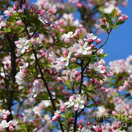 Fiona Craig - Blossoms 1