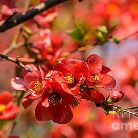 Fiona Craig - Blossoms 6