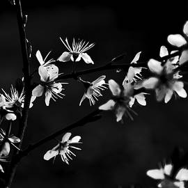 Damijana Cermelj - Blossoms