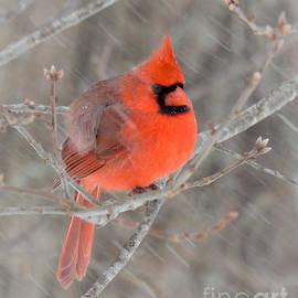 Amy Porter - Blowing Snow Cardinal
