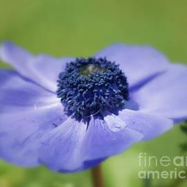 Carolyn Rauh - Blue Anemone