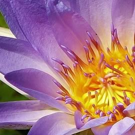 Bruce Bley - Blue Beauty Waterlily