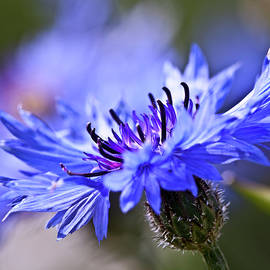 Heiko Koehrer-Wagner - Blue Cornflower Bloom