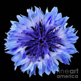 Valdis Veinbergs - Blue cornflower on a black background 2