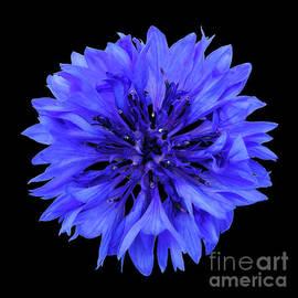 Valdis Veinbergs - Blue cornflower on a black background 3