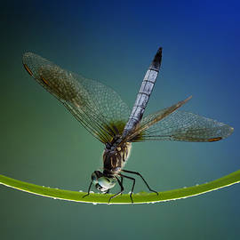 Denise Saldana - Blue Dasher Dragonfly