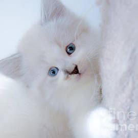 Peggy  Franz - Blue Eye Kitten Snow White