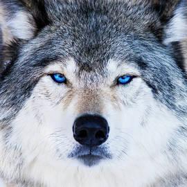 Mircea Costina Photography - Blue Eyed Wolf Portrait