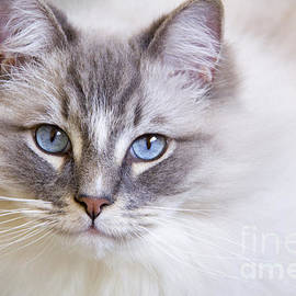 Rita Kapitulski - Blue eyes of a ragdoll cat.