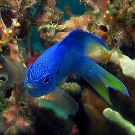 Sergey Lukashin - Blue fish