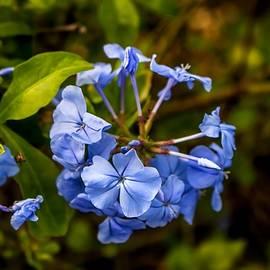 Luis Rosario - Plumbago Flower