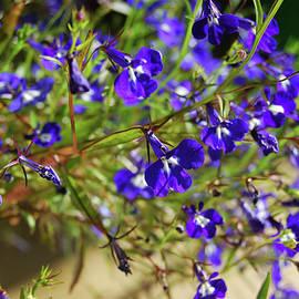 Blue flowers lobelia  in the garden