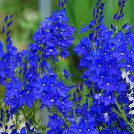 Rishane Art - Blue Flowers