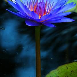Carol R Montoya - Blue Fuchsia Water Lily