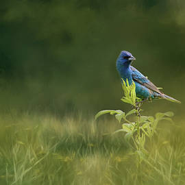 Jai Johnson - Blue Gem In The Meadow Bird Art by Jai Johnson
