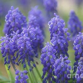Luv Photography - Blue Grape Hyacinths