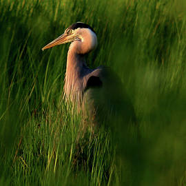 Amy Jackson - Blue Heron In Grass