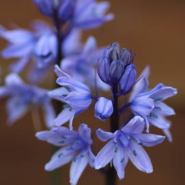 Rumyana Whitcher - Blue Hyacinth Flower