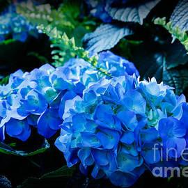 Lynn Sprowl - Blue Hydrangeas