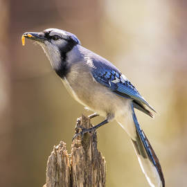 Bill Tiepelman - Blue Jay Breakfast