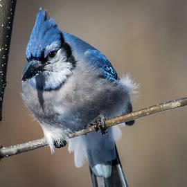 Paul Freidlund - Blue Jay Close Up