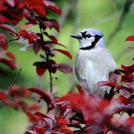 Trina Ansel - Blue Jay in the Plum Tree