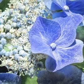 Melissa Bittinger - Blue Lacecap Hydrangea