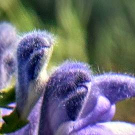 Nadia Korths - Blue Lupine Flower - 5 of 5 shots