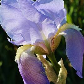 Bruce Bley - Blue Moon Iris