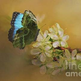 Janette Boyd - Blue Morpho Butterfly on White Flowers
