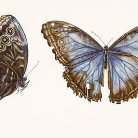 Blue Morpho Butterfly - Rachel Pedder-Smith