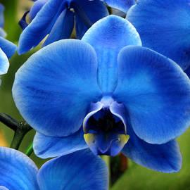 Peg Urban - Blue Orchid